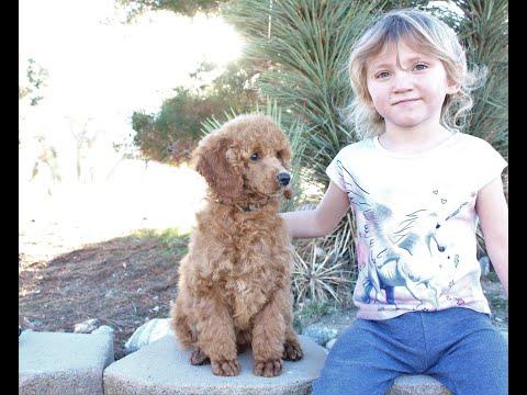 Moyen Poodle Puppy Ariel from PrincelyPoodles.com