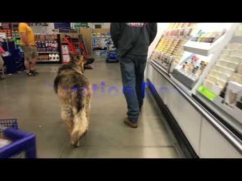 "5 year old King Shepherd! ""KOA"" King Shepherd Dog Training Off Leash K9 Training"