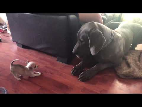 Chihuahua vs Great Dane