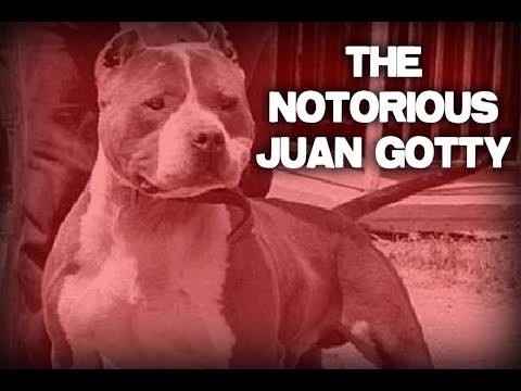 The History of The Notorious Juan Gotty in Under 5 Minutes!!! - Gottiline Pitbull - American Bully