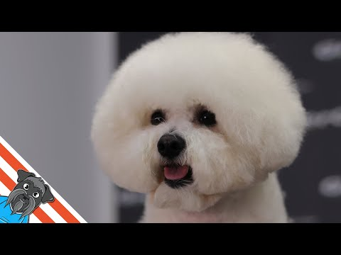 How to groom a Bichon frise
