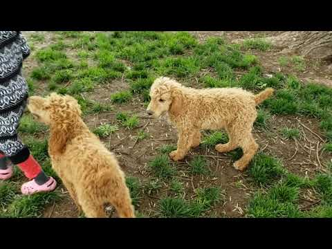 Apricot and Red Standard Poodle Male Puppies