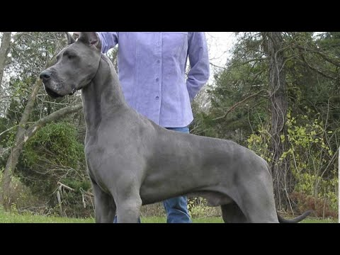 Types of Great Danes