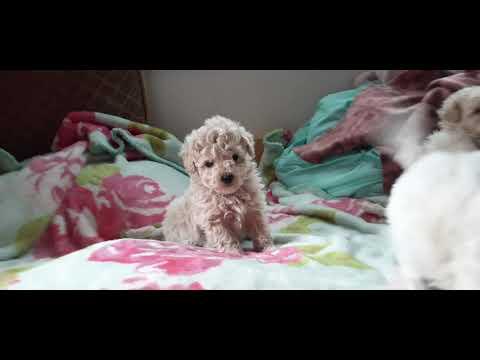 Morkiepoo Puppies 6 Weeks Old
