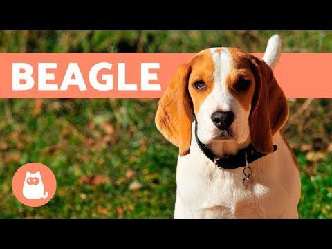 Beagle Dogs – History, characteristics and training