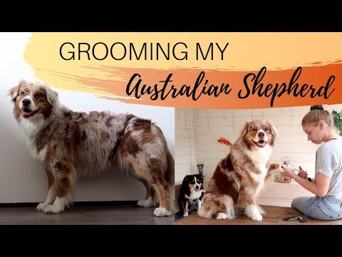 GROOMING MY DOG | Australian Shepherd |