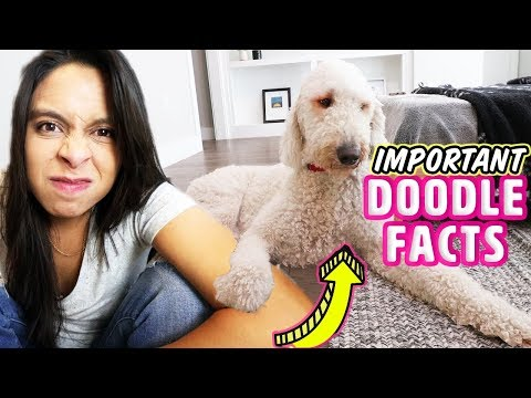 DON'T get a Goldendoodle BEFORE Watching This 🚫 Getting a NEW Puppy Tips!