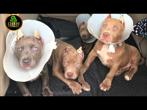 American Bully Dog Puppies Ear Crop After Care