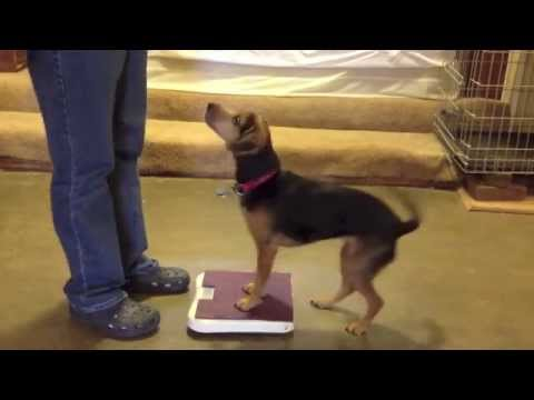 Weighing a Dog on a Bathroom Scale
