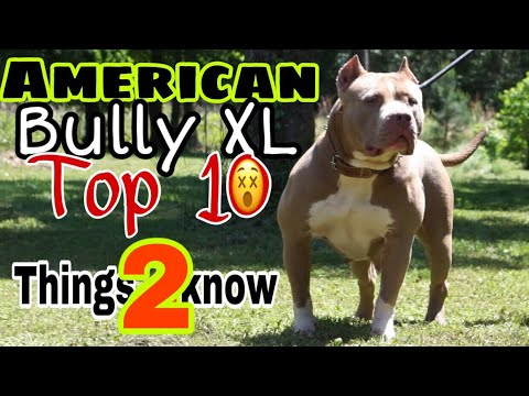 10 Things You Need To Know Before Getting An American Bully XL