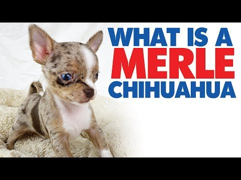 A merle Chihuahua with blue eyes! | Sweetie Pie Pets by Kelly Swift