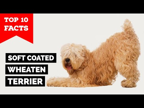 Soft Coated Wheaten Terrier - Top 10 Facts