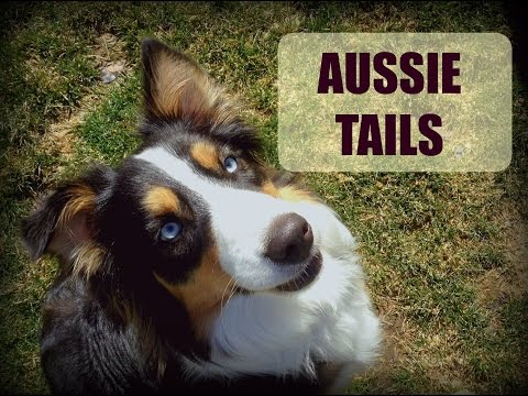 Short tail vs Long tail in an Aussie |Life With Aspen|