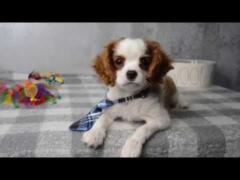 Alabama Toys and Teacups Cavalier King Charles Puppies