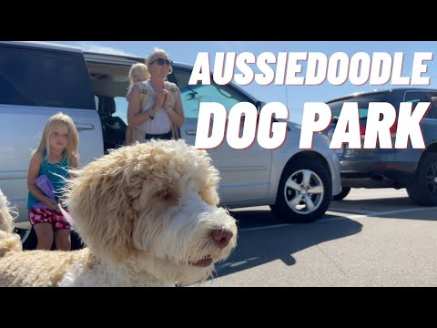 Aussiedoodle Puppy Day in The Life - Going to the Dog Park | Torey Noora