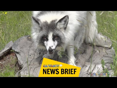 Marble foxes debut at B.C. Wildlife Park
