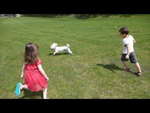 Bichon Frise Dog being Chased by Kids at the Park