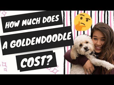 How Much Does A Goldendoodle Cost (The True Cost of a Goldendoodle Puppy)