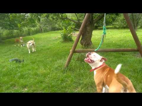 American bulldog pitbull mix