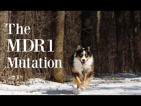 The MDR1 Mutation - What All Aussie Owners Need to Know