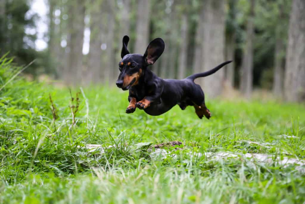 Are Dachshunds Fast Runners?