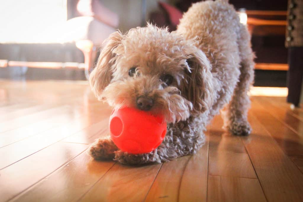 Are Poodles Easy To Take Care Of? 14 Tips For Poodle Owners