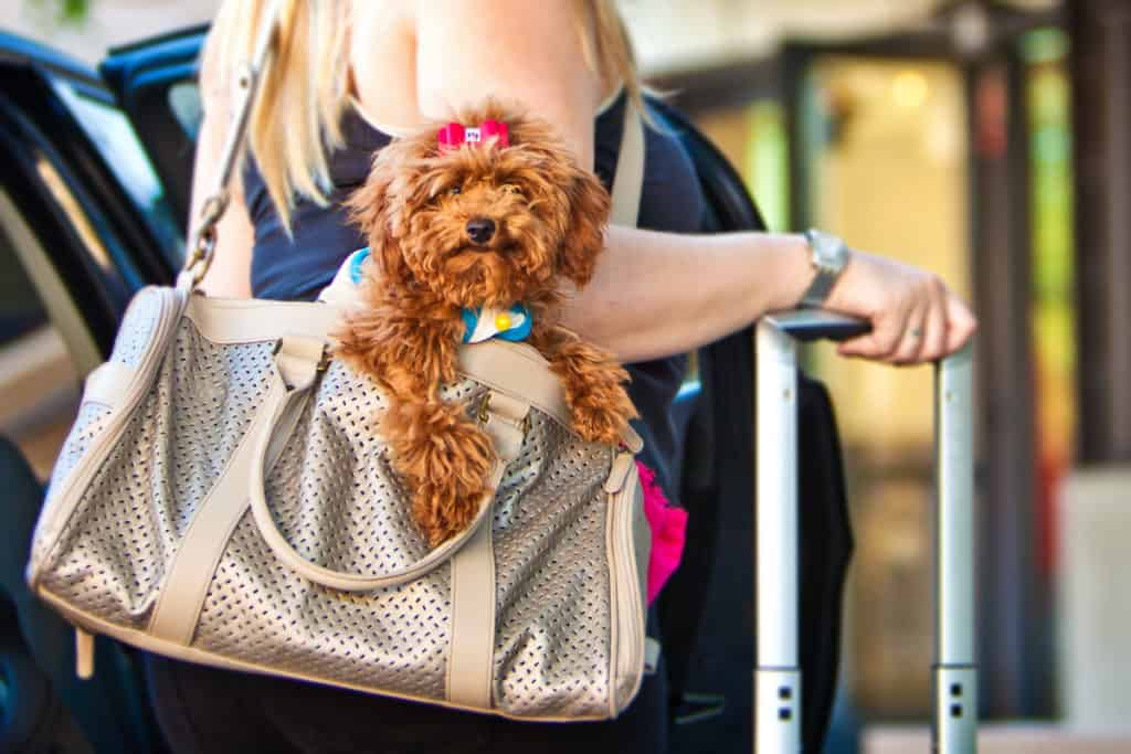 Are Poodles Suitable for Busy People?