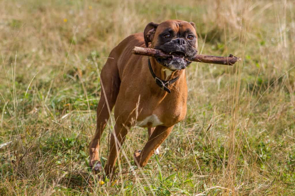 Can Boxers Run Long Distances?