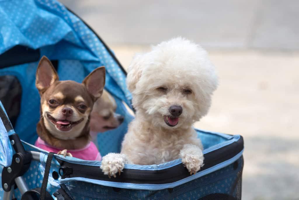 Do Poodles Get Along With Chihuahuas?