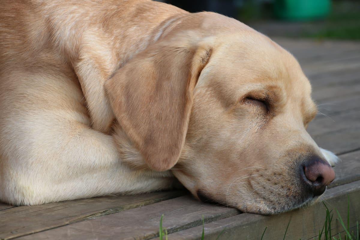 How Much Sleep Should a Labrador Retriever Have?