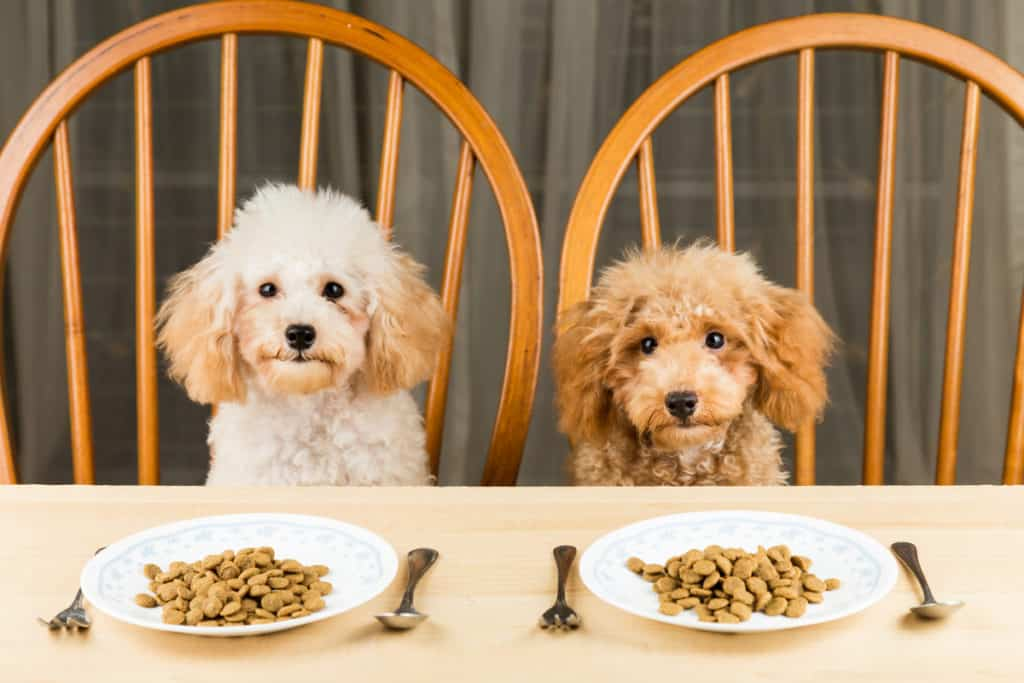 Is Poodle a Picky Eater? 7 Tips For Poodle Owners