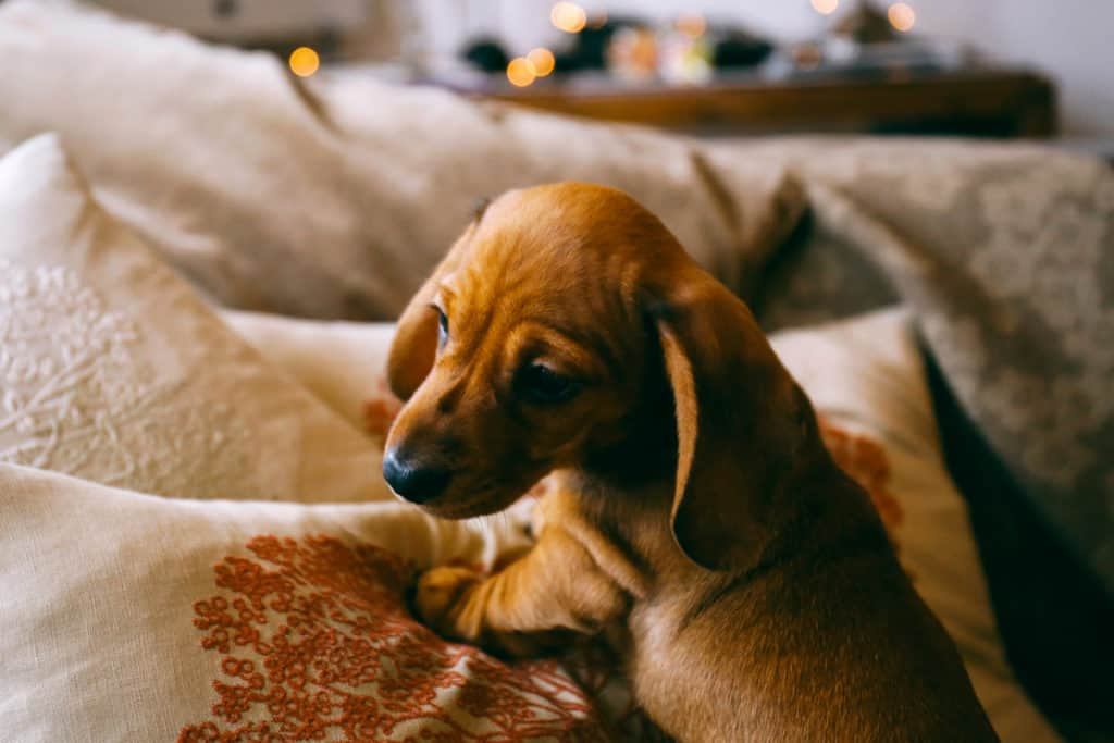Why Are Dachshunds So Jealous?
