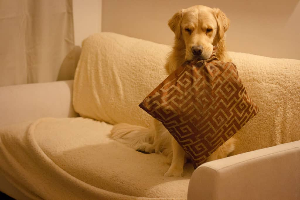 Why Your Golden Retriever Brings You Random Things?