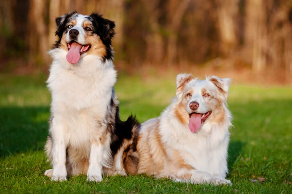 Are Australian Shepherds Good with Kids and Babies? A Guide for Parents.
