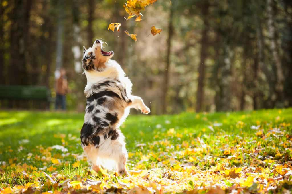 Australian Shepherds Weight: Growth Curve and Average Weights