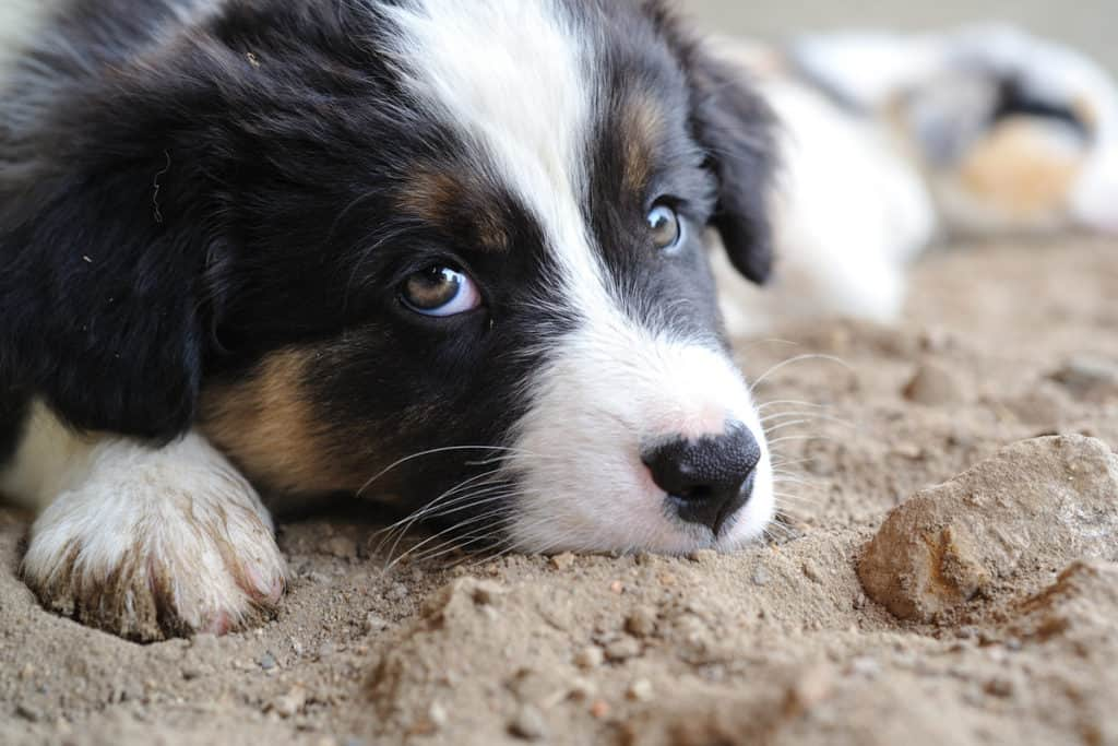 Can Australian Shepherds Be Left Alone?
