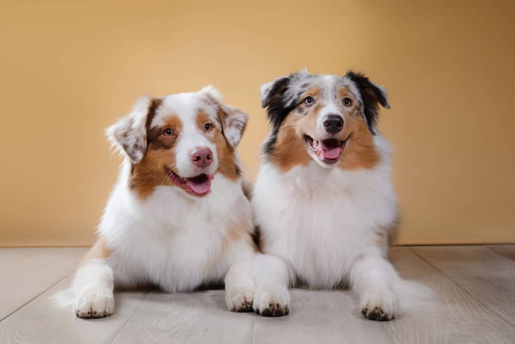 Male Vs. Female Australian Shepherds: What's the Difference?