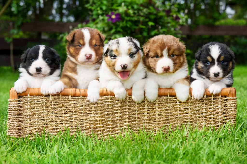 Places to Find Australian Shepherds Puppies for Sale: Best to Worst