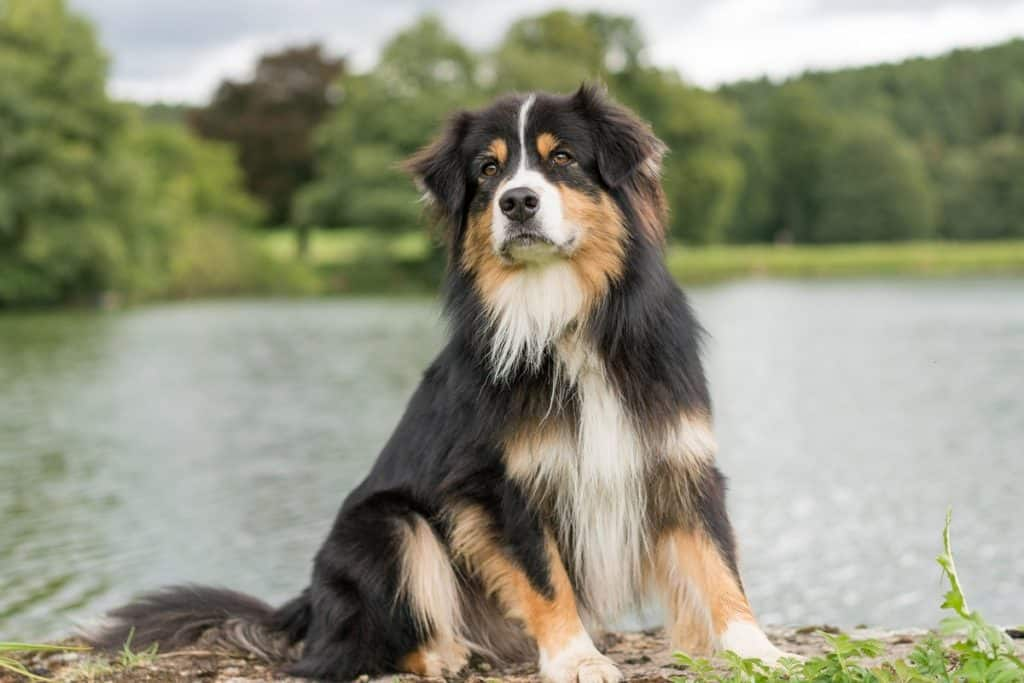 What Were Australian Shepherds Bred For?