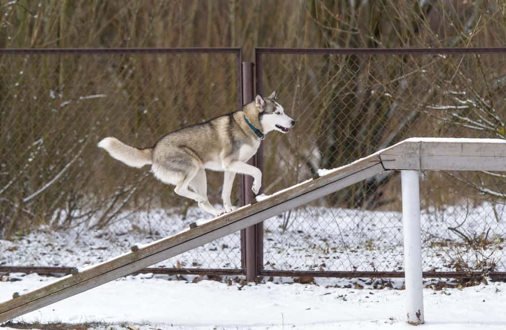 Are Siberian Huskies Easy to Train?