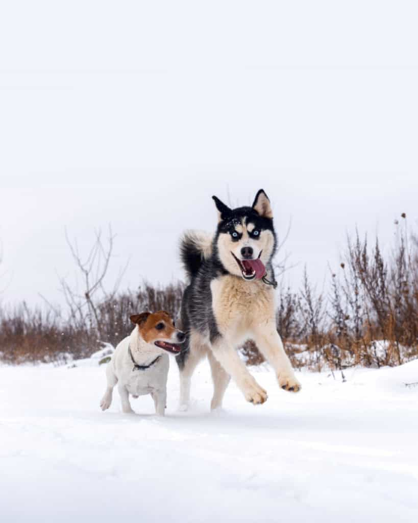 Are Siberian Huskies Good With Other Dogs?