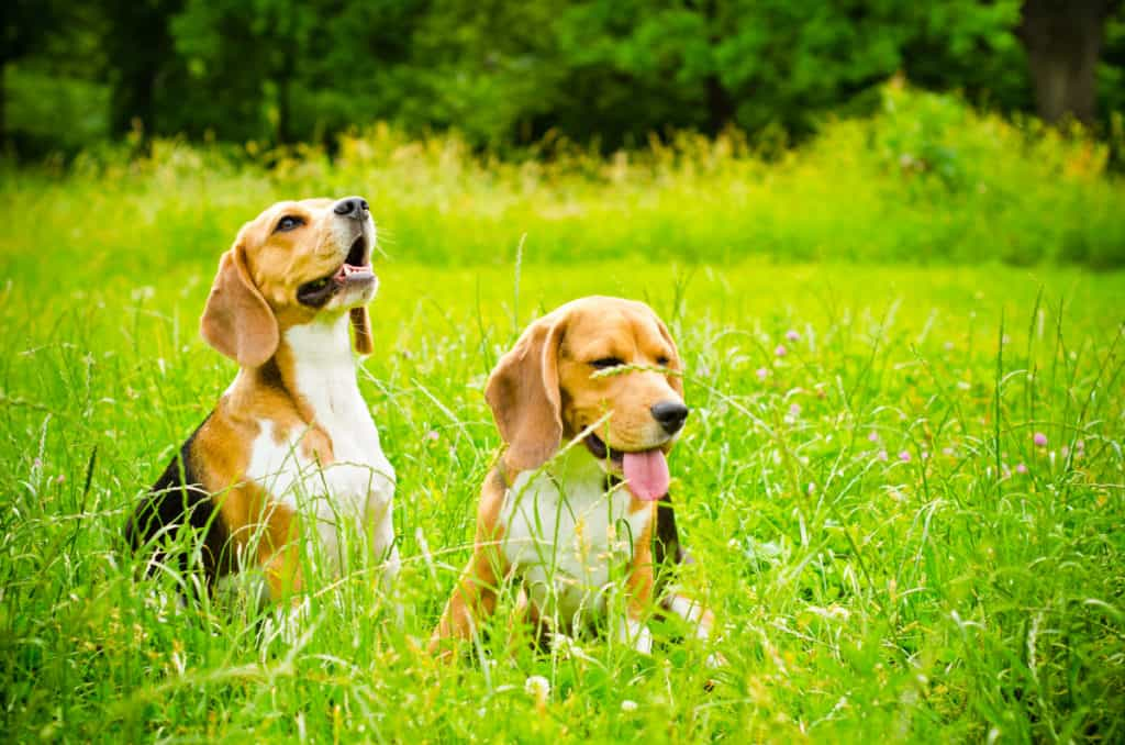 Male vs. Female Beagle