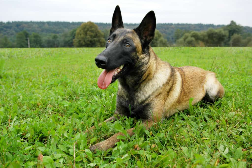 Belgian Malinois Shedding