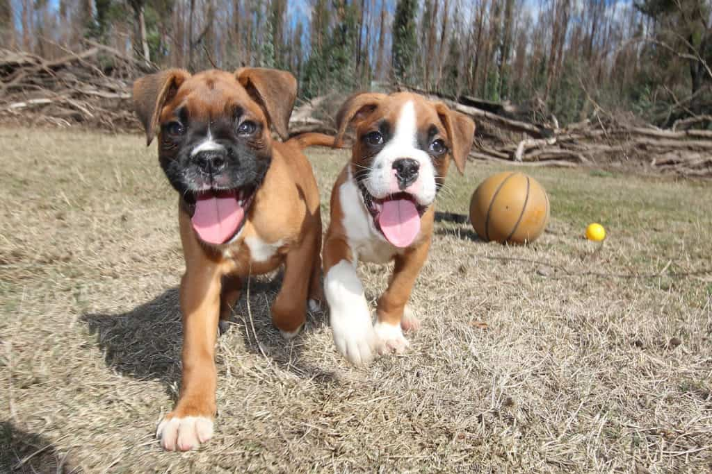 Male vs. Female Boxer