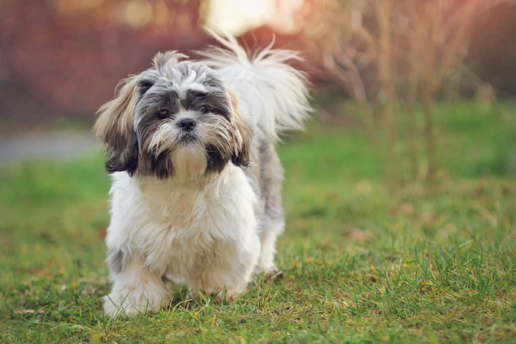 Can Shih Tzus Live Outside?