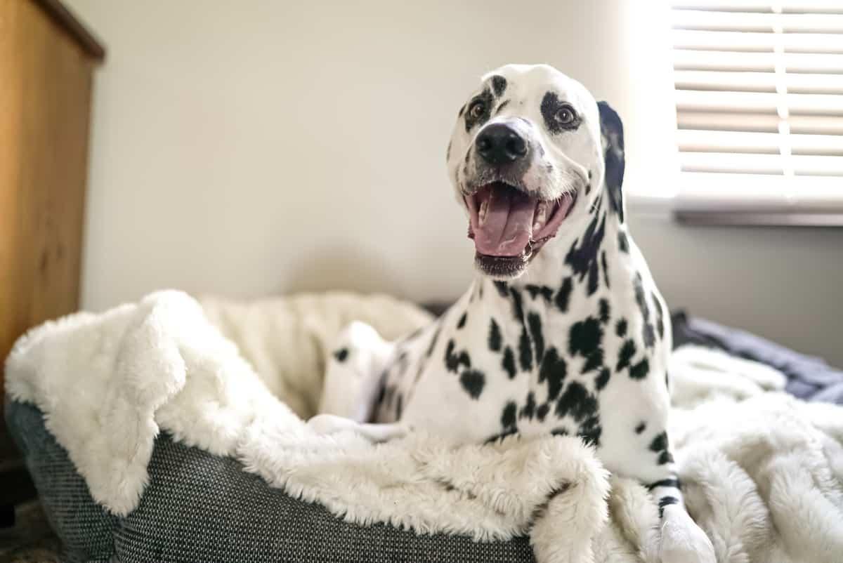 Dalmatian Lifespan How Long Do Dalmatians Live