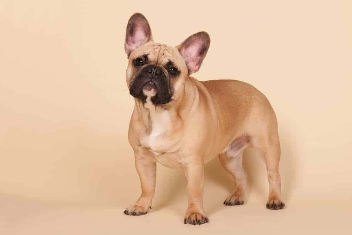Fawn French Bulldog All You Need To Know Bubbly Pet
