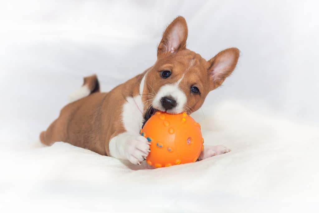 How Much Does a Basenji Cost? Puppy Prices and Expenses