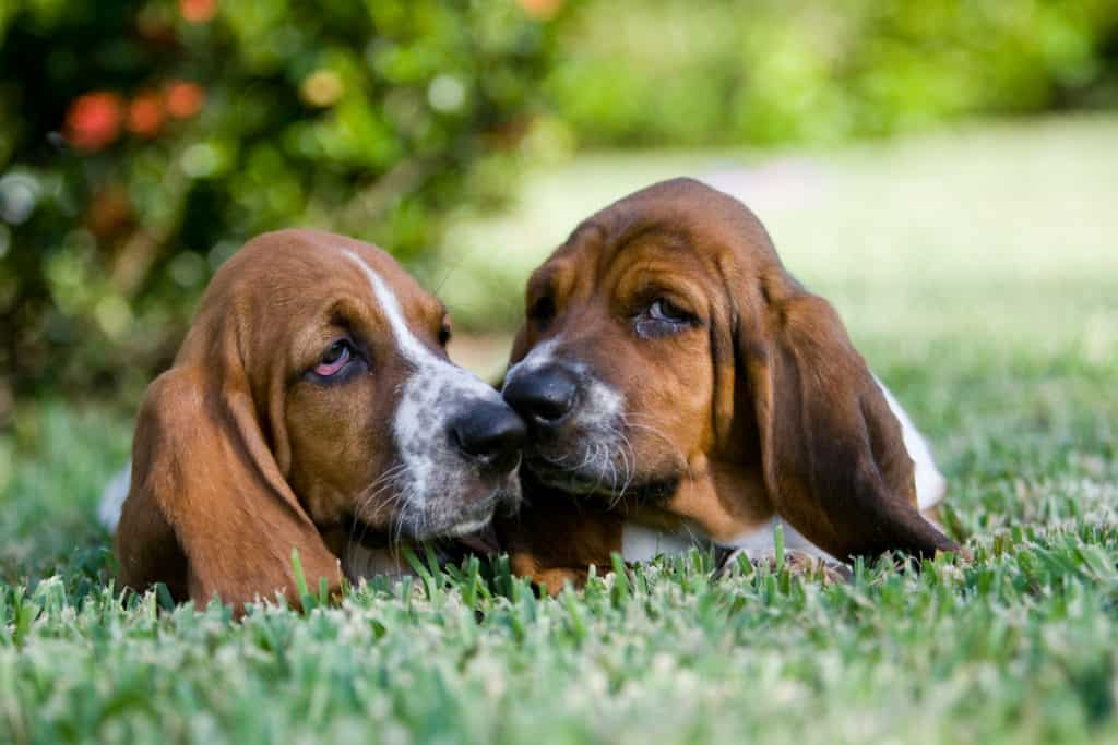 How Much Do Basset Hounds Cost? Puppy Prices and Expenses