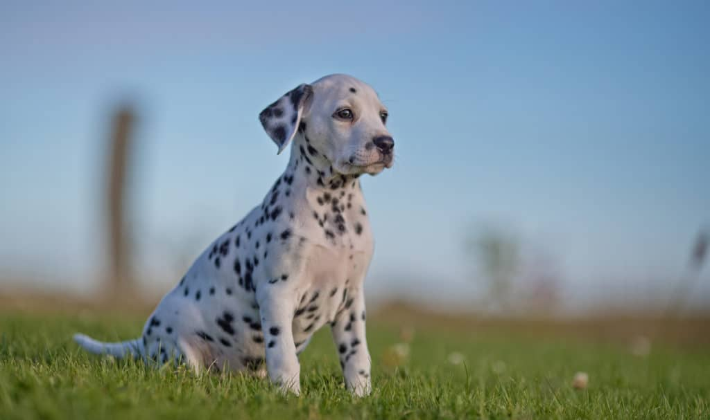 How Much Do Dalmatians Cost? Puppy Prices and Expenses